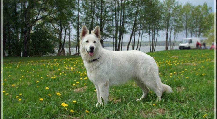 Wakacyjny kurs posłuszeństwa na Mazurach - szkolenie psów Baritus