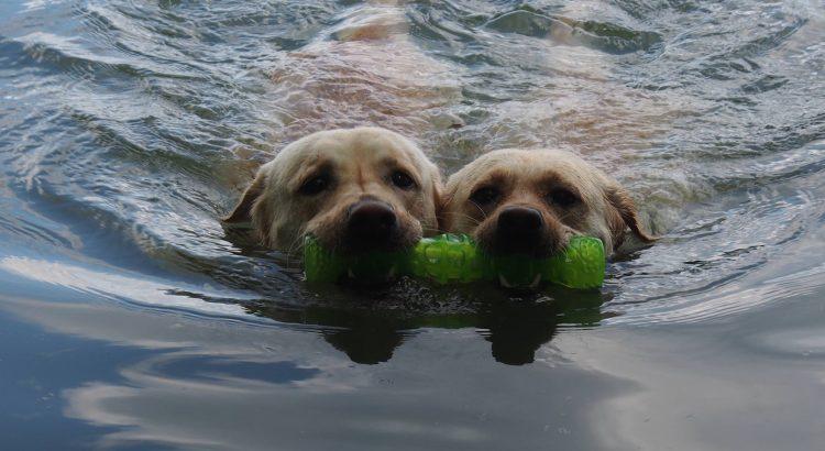psy bawiące się w wodzie